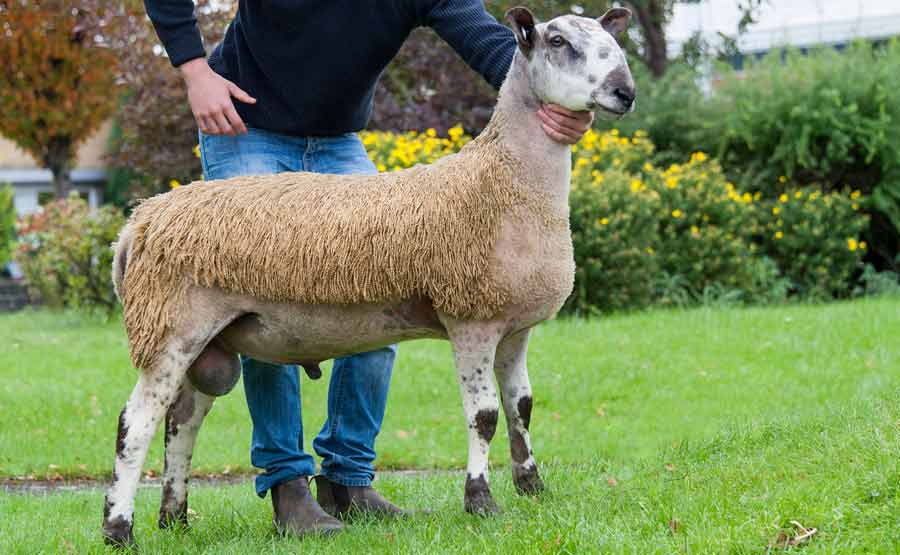 Side profile of a breeding ram lamb sold at Carlisle at auction for 8,000gns in October 2016