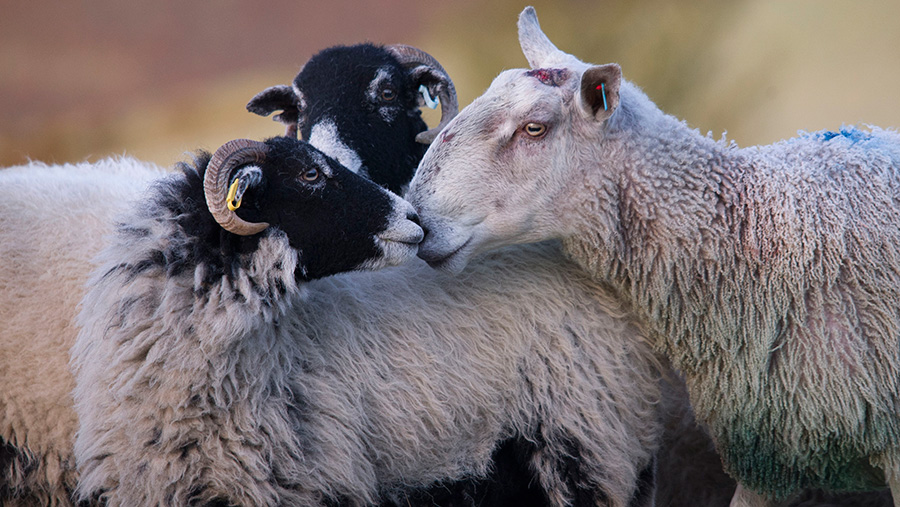 Two sheep nuzzling