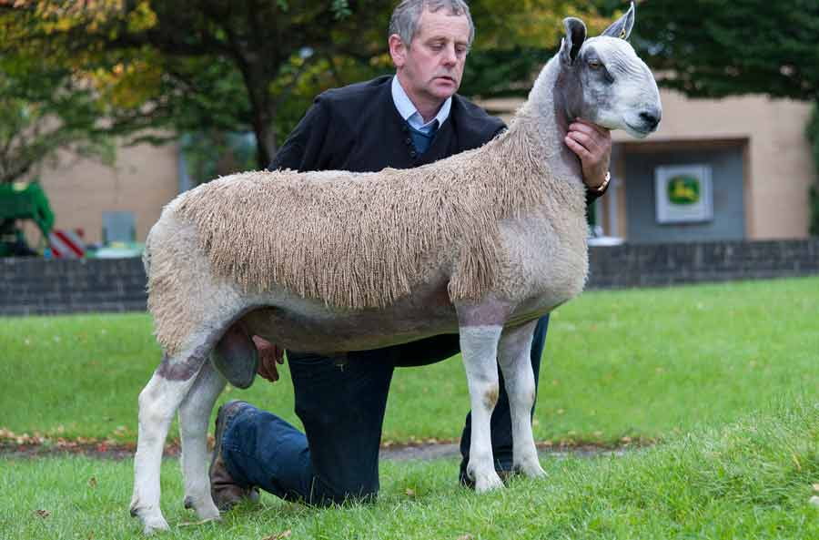Stood picture of a Bluefaced  Leicester sire at Carlisle