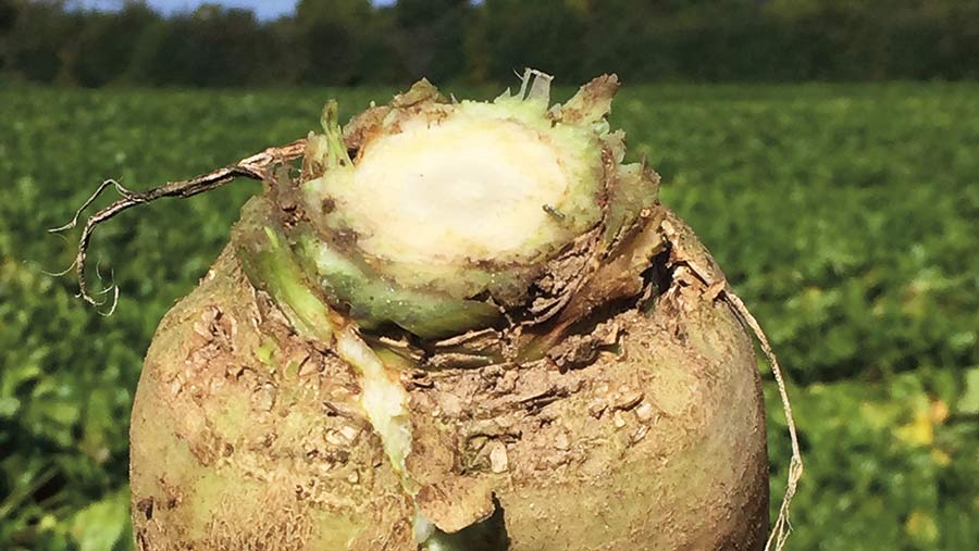 A sugar beet showing a crown scar size equivalent to the diameter of a £2 coin