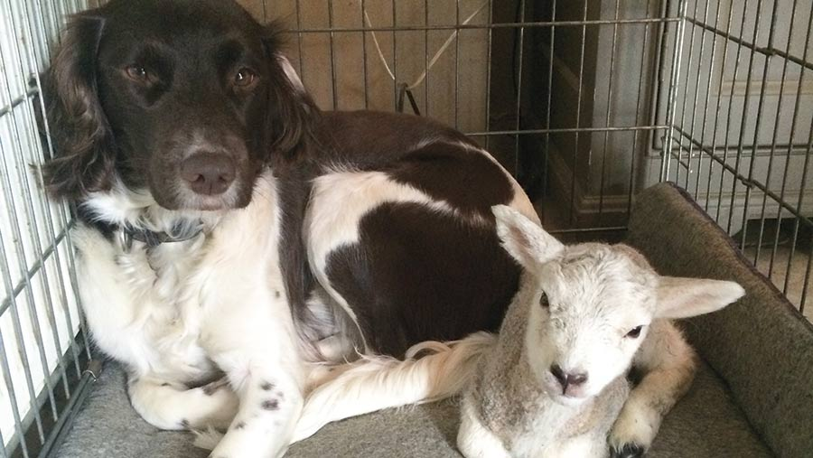A dog and a lamb lie next to each other in a cage