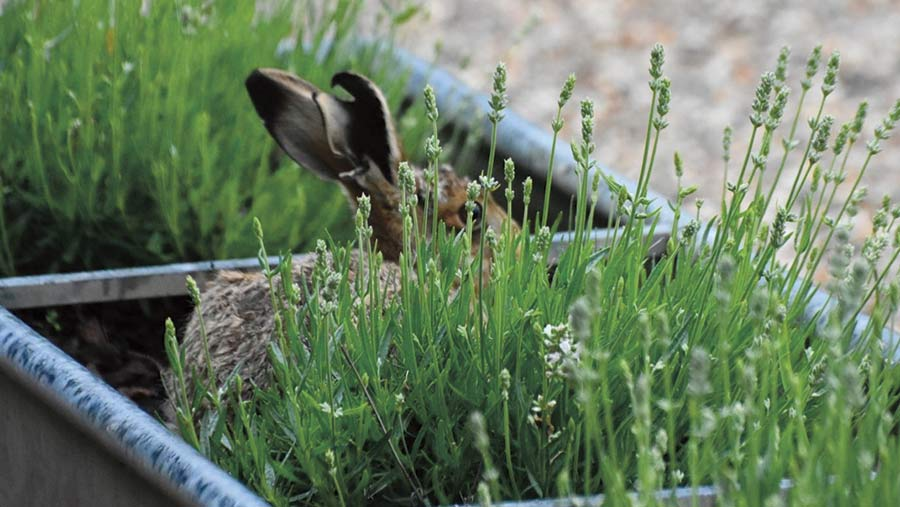 A hare sits in a planter, it is partially hidden by lavender