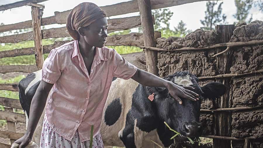 African farmer Ruth Machuma pets a dairy cow