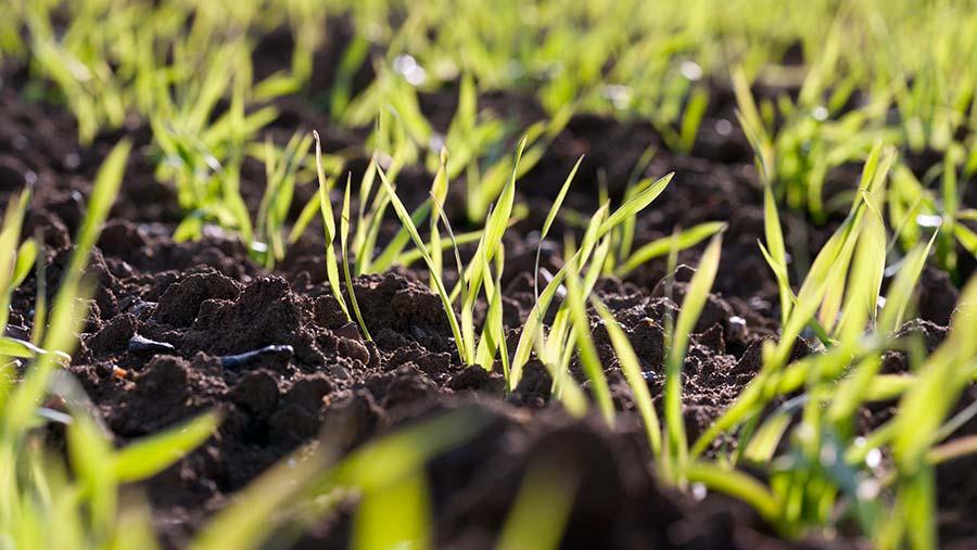 Young spring barley plants © Tim Scrivener