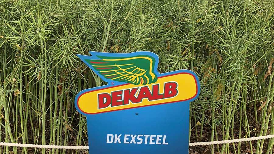 Trial plot of Dekalb OSR variety Exsteel