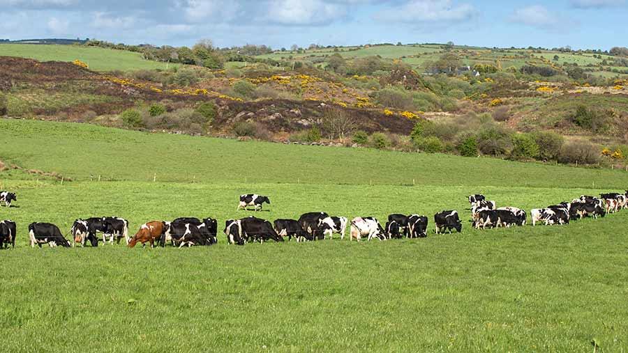 A herd of cows graze in a field of grass