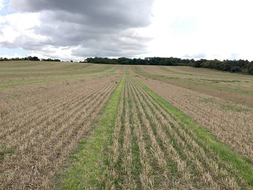 Two distinct rows of growth in tramlines between rows of stubble