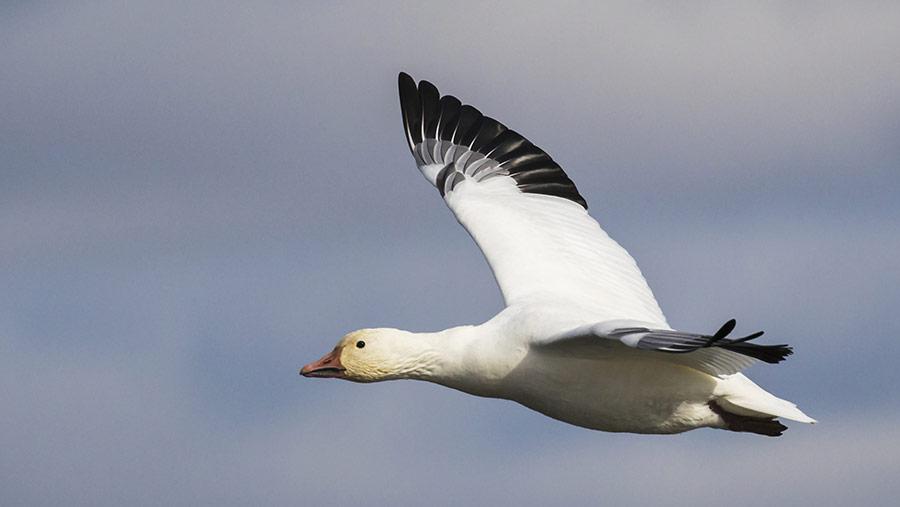 Wild bird flying