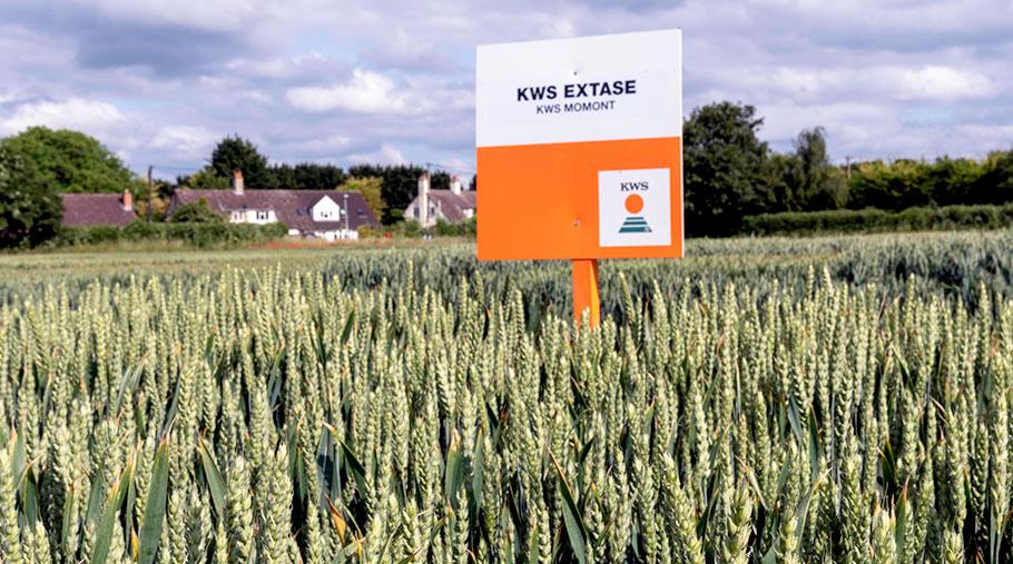 KWS Extase wheat in a field