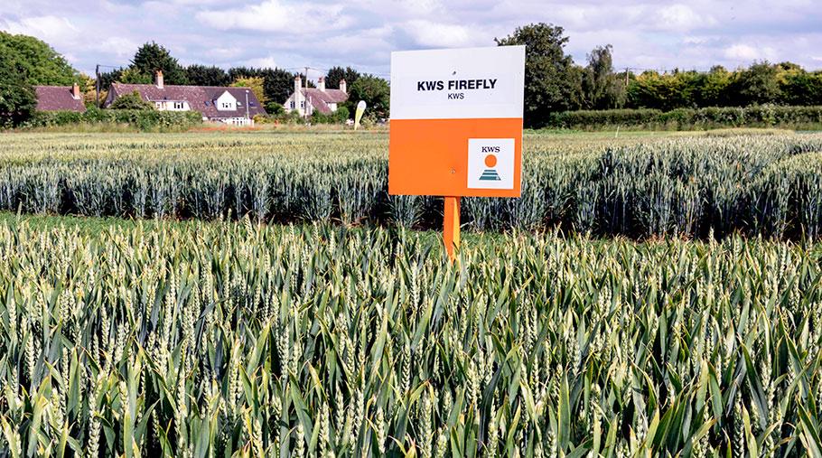 KWS Firefly wheat grows in a field