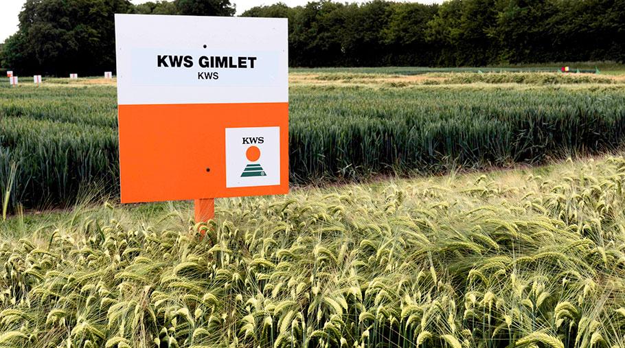 KWS barley grows in a field