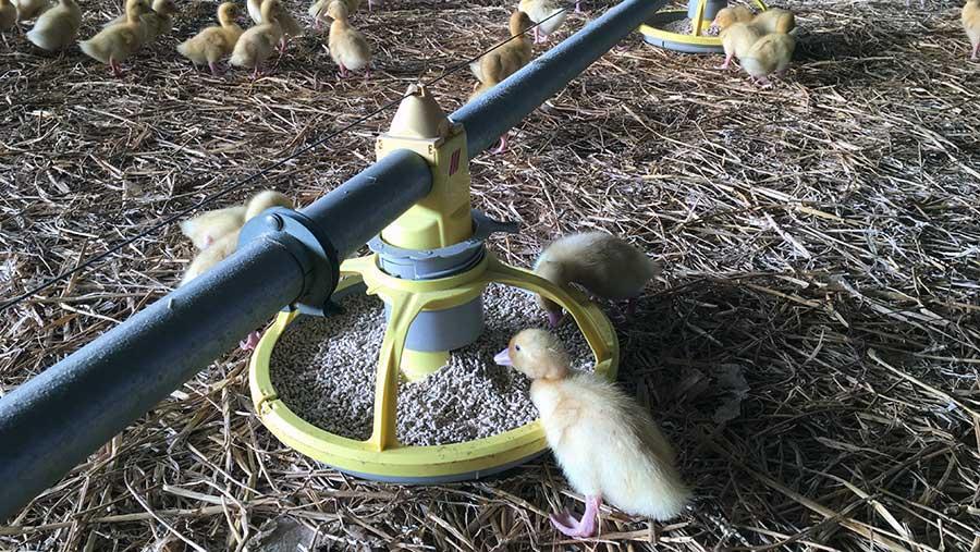 Ducklings at feeder