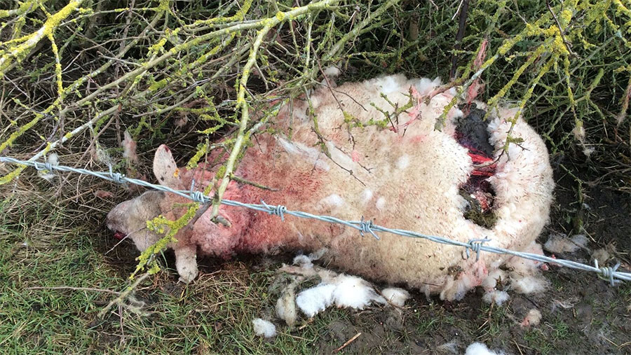 A savaged sheep lies dead on the ground