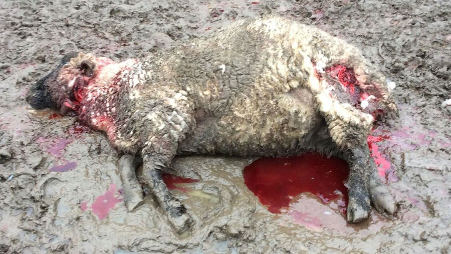 Dead sheep lie on the ground