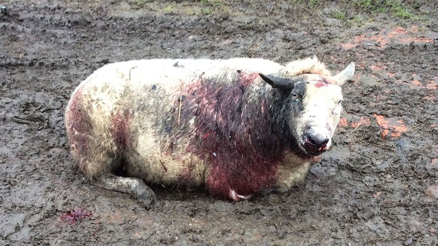 A savaged sheep sits on the ground