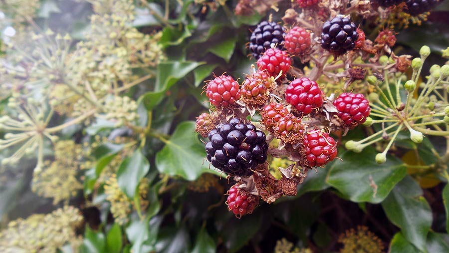 Blackberries in hedgerow © Rose Tabberer