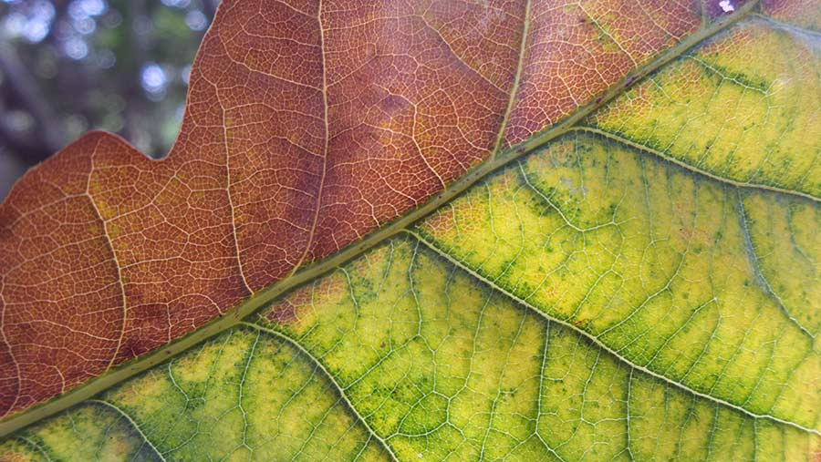 Leaf turning colour © Rose Tabberer