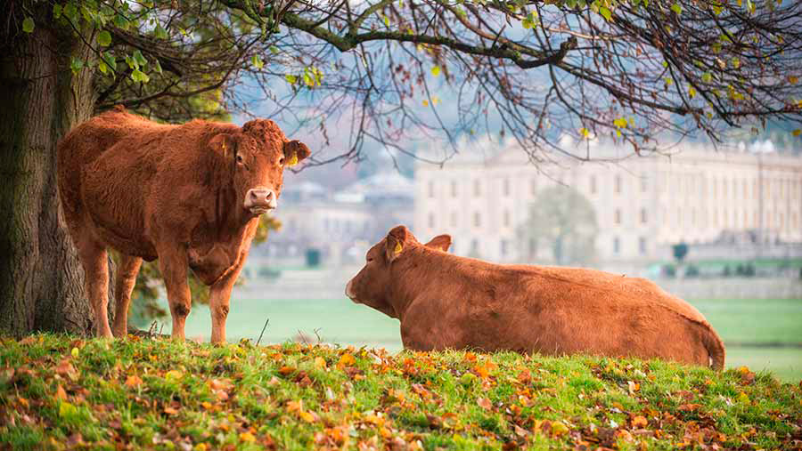 Limousin cows in front of house