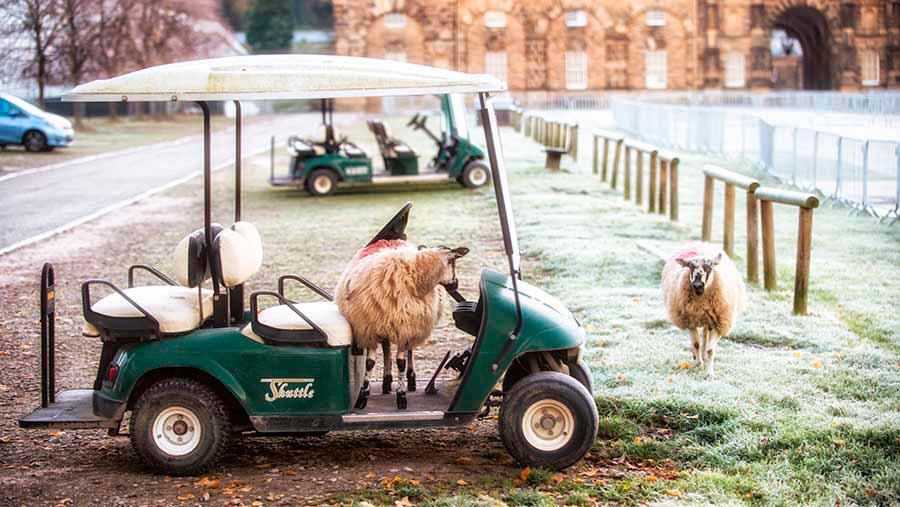 Sheep and golf cart