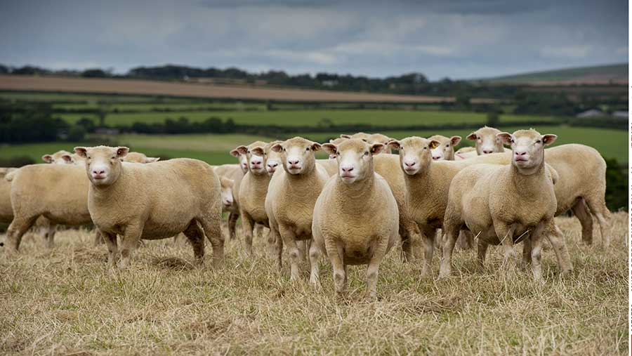 Dorset ewes in field