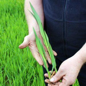 Contaminated oat crop © Oli Hill