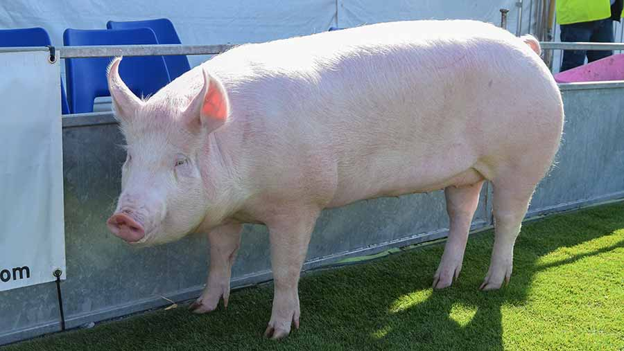 Coppagh Greenback took the interbreed pig