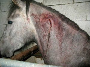 Horse with cut to its neck