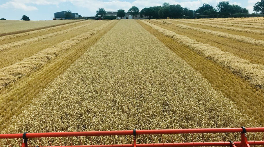 The view from Richard Payne's combine cab while it cuts wheat