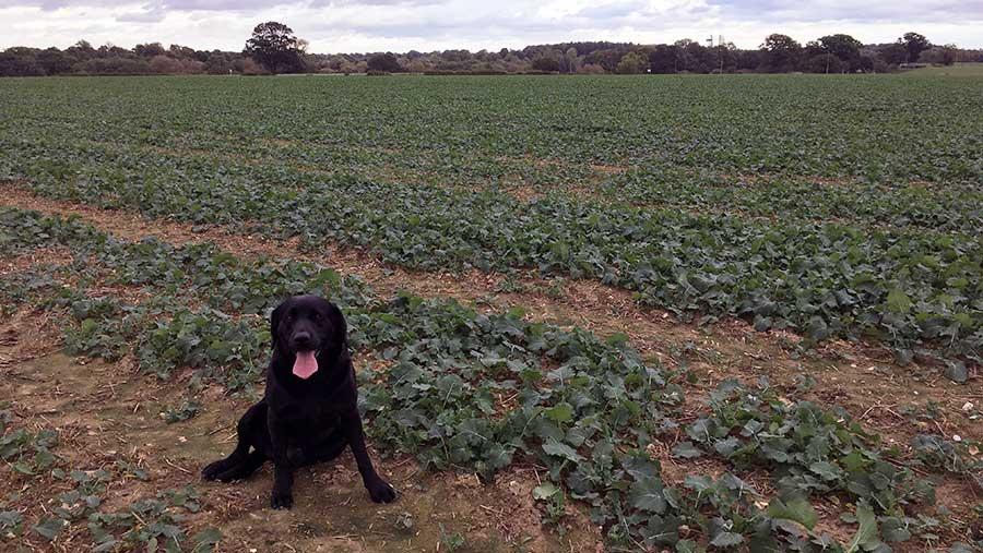 Dog in oilseed rape field