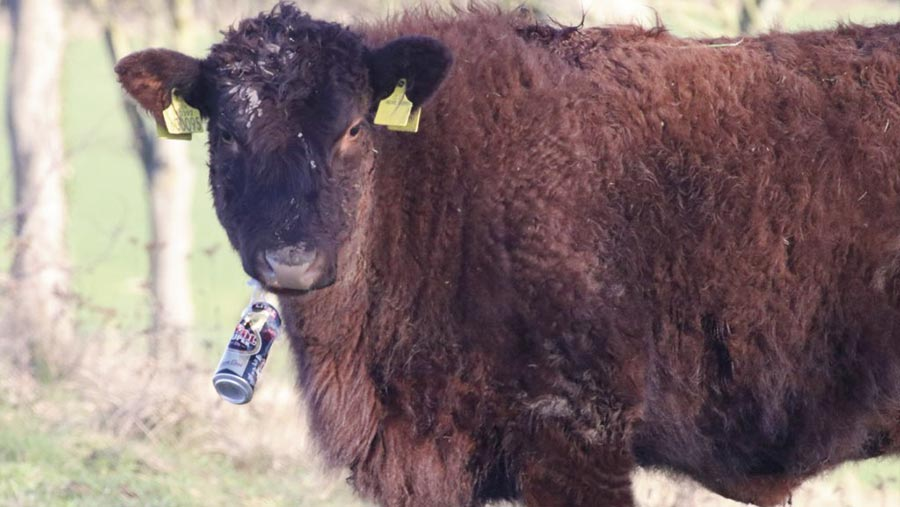 heifer with beer can ring