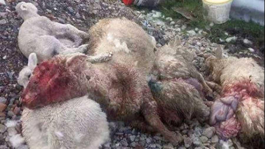 Dead sheep lie in a field