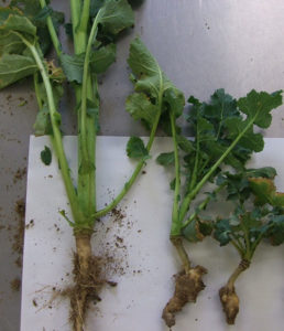 Two OSr plants - one with clubroot and one without