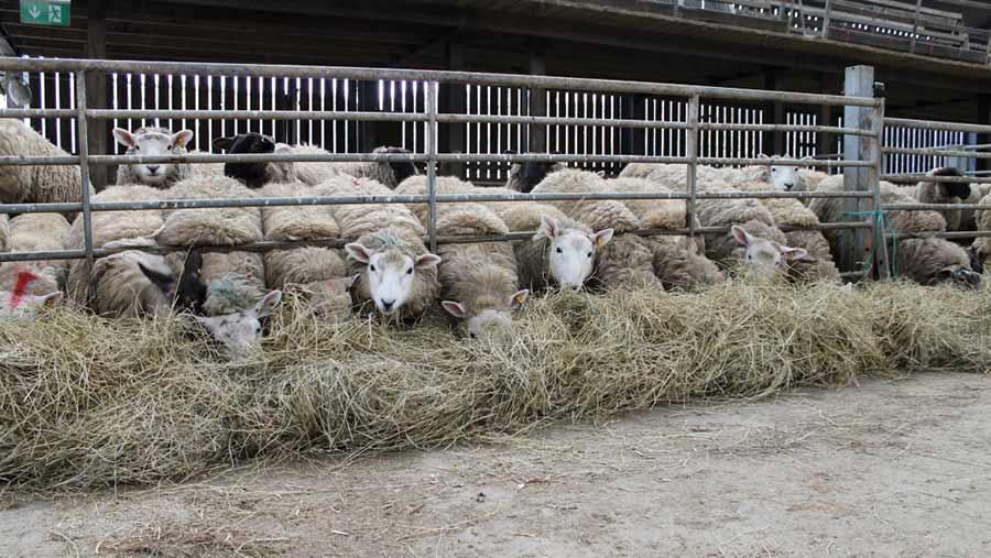 Sheep on the Edwards farm