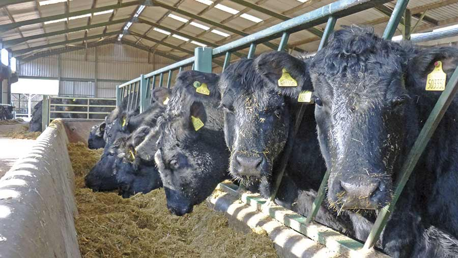 Angus herd