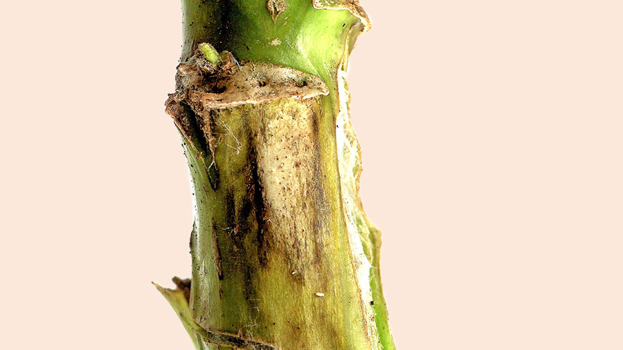 Phoma stem canker on oilseed rape plant