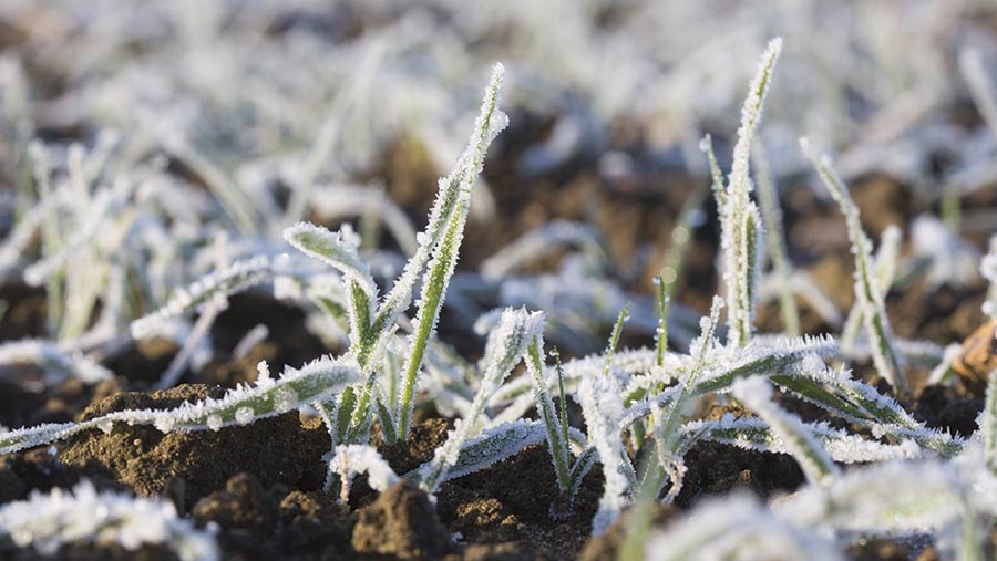 frosted wheat plants