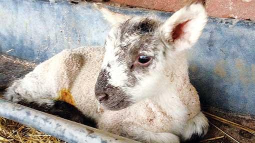Adopta Lamb Mothering Restraint suits sheep and goats Harness