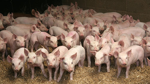 Foston Large Scale Pig Unit In Final Bid To Woo Local Support Farmers Weekly