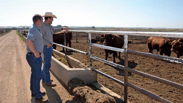 US beef feedlot