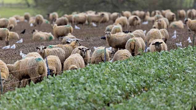 Sheep grazing on turnips © Tim Scrivener