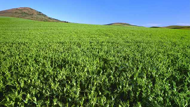 The study found there were no significant differences in organic and conventional yields for leguminous crops such as lentils.  (c) Rex