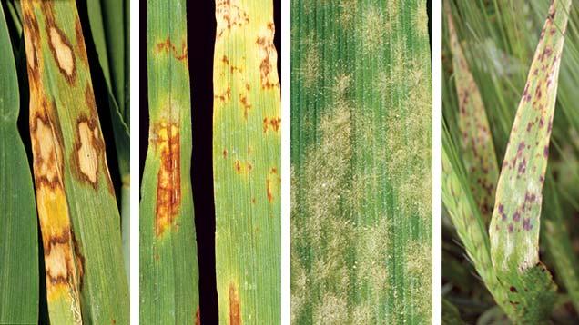 Four barley diseases (left to right): rynchosporium, net blotch, mildew, ramularia