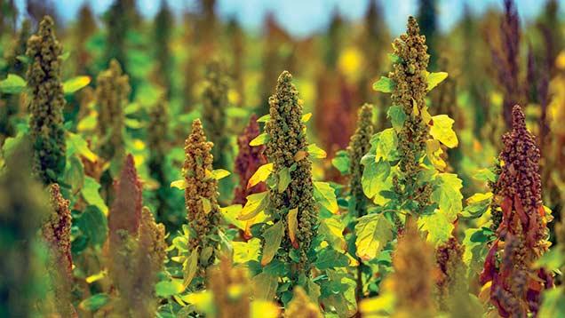 Quinoa crop.
