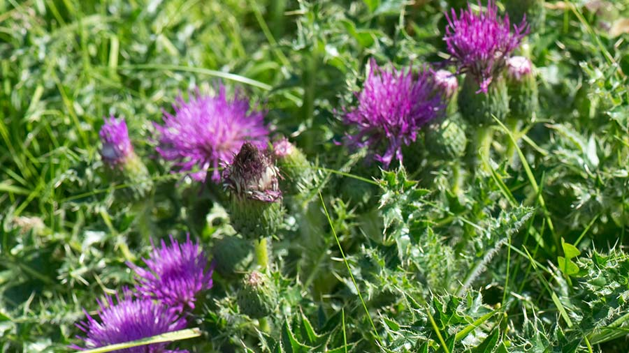 Dwarf thistle in flower