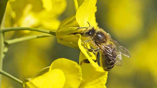 Honey bee on oilseed rape © WestEnd61/REX