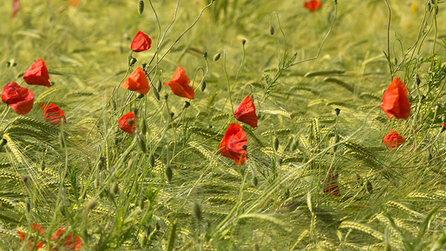 Poppies in barley © Tim Scrivener