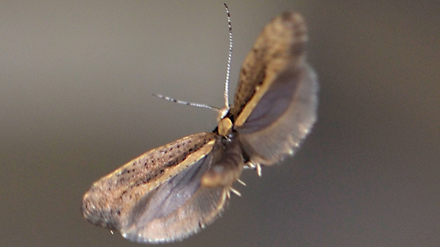 A diamondback moth