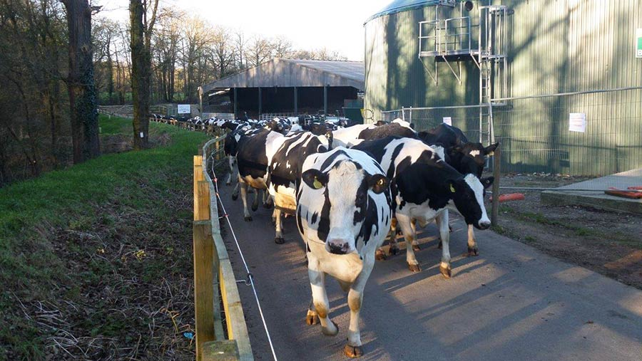 The dairy herd at Crouchland Farm