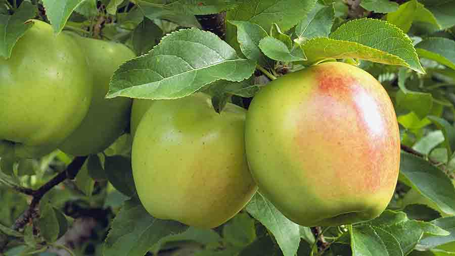 The founding fruit: The WFU was set up in protest at imports of  Golden Delicious apples from France © Design Pics Inc/REX/Shutterstock
