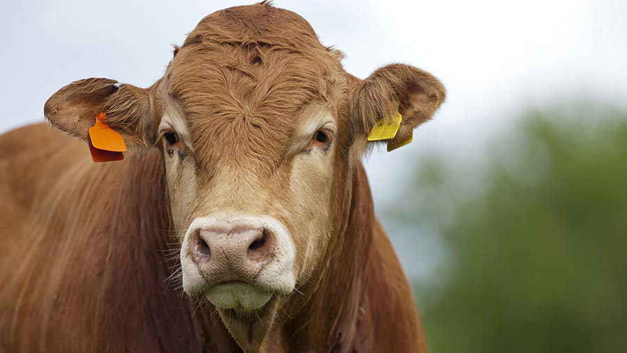 Limousin bull with ear tags © FLPA/Wayne Hutchinson/REX/Shutterstock